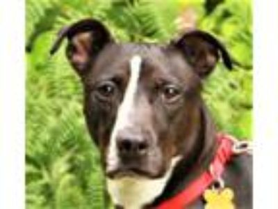Adopt Cosmo a Whippet