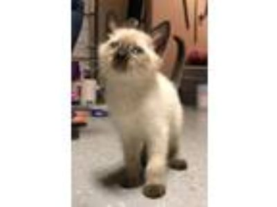 Adopt Kitty Perry a Siamese