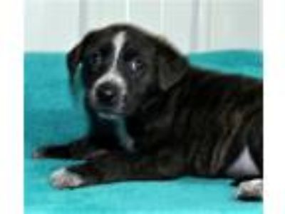 Adopt Desiree a Australian Shepherd