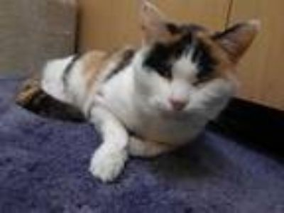 Adopt CHAOS a Calico or Dilute Calico Domestic Shorthair / Mixed (short coat)