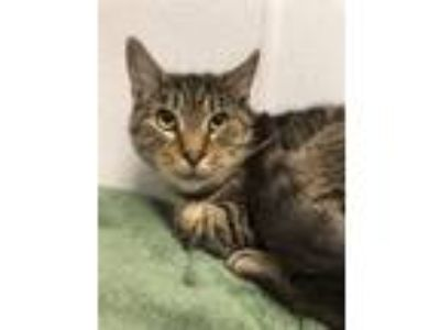 Adopt Miky a Domestic Shorthair / Mixed cat in Madison, NJ (23763606)