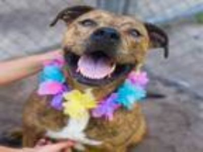 Adopt NALA a American Staffordshire Terrier, Mixed Breed