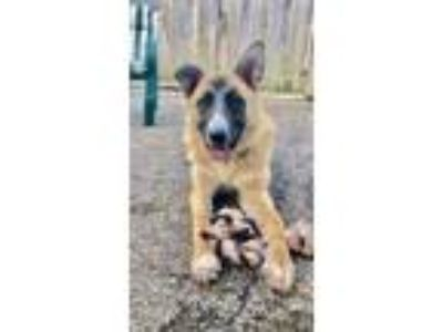 Adopt Maple a German Shepherd Dog