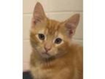 Adopt Torq a Orange or Red Tabby Domestic Shorthair / Mixed (short coat) cat in