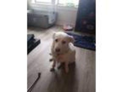 Adopt Bella a White Labrador Retriever / Spitz (Unknown Type