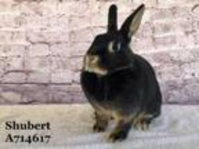 Adopt SHUBERT a Black Other/Unknown / Mixed rabbit in Camarillo, CA (25847879)