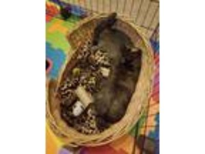 Adopt Whiskey / Alpine a Harlequin / Mixed (short coat) rabbit in Tampa