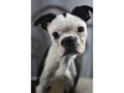 Adopt Piglet a Boston Terrier