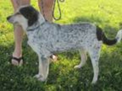 Adopt Hal a Australian Cattle Dog / Blue Heeler