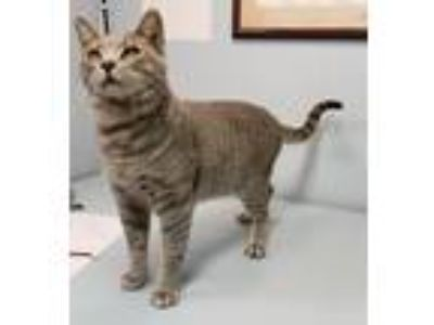 Adopt Pendleton a Gray, Blue or Silver Tabby Domestic Shorthair (short coat) cat