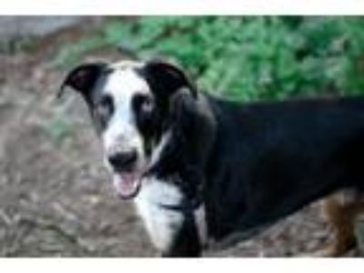 Adopt Axel a Great Dane, Mixed Breed