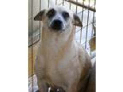 Adopt Little Miss a Australian Cattle Dog / Blue Heeler