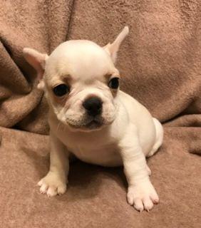 French Bulldog PUPPY FOR SALE ADN-104337 - French Bulldog Puppy