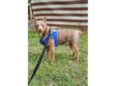 Adopt Major a Gray/Blue/Silver/Salt & Pepper Miniature Pinscher / Mixed dog in