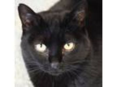 Adopt Chocolate Chip a All Black Domestic Mediumhair / Mixed (medium coat) cat