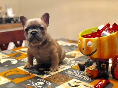 French Bulldog PUPPY FOR SALE ADN-98182 - AKC French Bulldog