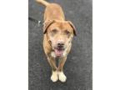 Adopt Truman a Red/Golden/Orange/Chestnut Chesapeake Bay Retriever / Mixed dog