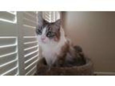 Adopt Mocha a Tan or Fawn (Mostly) Domestic Mediumhair / Mixed cat in Yuba City