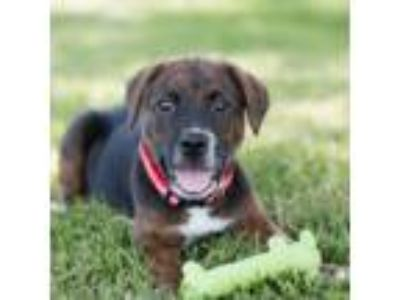 Adopt PUPPY MAXIE a Labrador Retriever / Hound (Unknown Type) / Mixed dog in