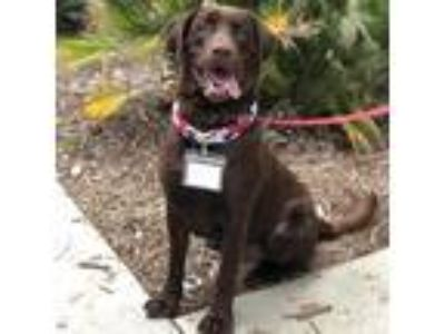 Adopt Bennett - Adopted! a Labrador Retriever / Mixed dog in San Diego
