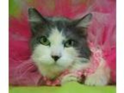 Adopt Jezabelle a Gray or Blue Domestic Shorthair / Domestic Shorthair / Mixed