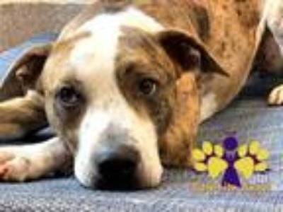 Adopt Doc Holliday a Brindle Mixed Breed (Large) / Mixed dog in Georgetown