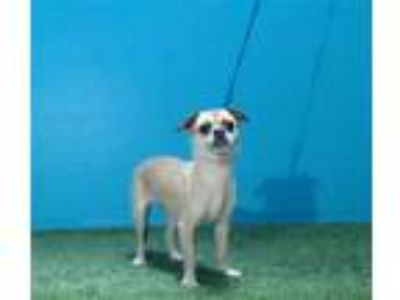 Adopt PEPPER a Rat Terrier, Pug