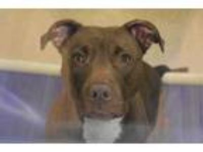 Adopt 42181913 a Brown/Chocolate American Pit Bull Terrier / Mixed dog in