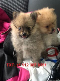 Tea Cup Pomeranian Puppies For adoption...TXT..+1 512 387 0391