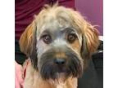 Adopt RUSTY a Havanese, Poodle