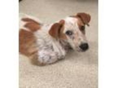 Adopt 41697276 a Cattle Dog, Mixed Breed