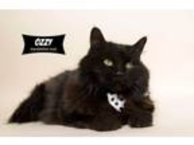 Adopt Ozzy (special story) a All Black Domestic Longhair (long coat) cat in