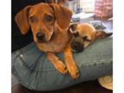 Adopt Drake a Brown/Chocolate Hound (Unknown Type) / Dachshund / Mixed dog in