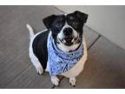 Adopt Baxter a Black - with White Border Collie / Mixed dog in McKinney