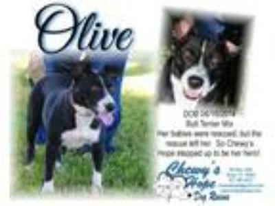 Adopt Olive a American Staffordshire Terrier, Boxer