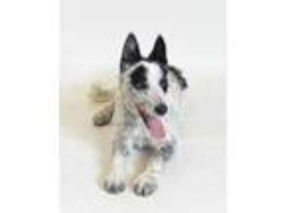 Adopt 58744 Nitro a Black Border Collie / Mixed dog in Spanish Fork