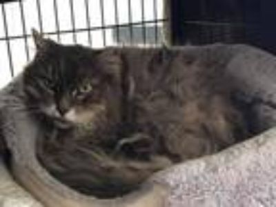Adopt Derby a Gray, Blue or Silver Tabby Domestic Longhair (long coat) cat in