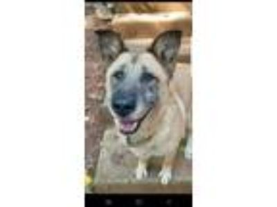 Adopt Storm a Tan/Yellow/Fawn - with Black German Shepherd Dog / Mixed dog in