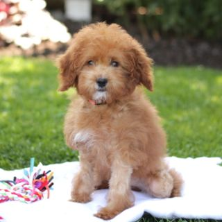 Goldendoodle-Poodle (Miniature) Mix PUPPY FOR SALE ADN-98602 - Family Raised
