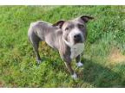 Adopt PEARL a Gray/Silver/Salt & Pepper - with White American Pit Bull Terrier /