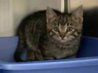Adopt PATIENCE a Brown Tabby Domestic Shorthair / Mixed (short coat) cat in
