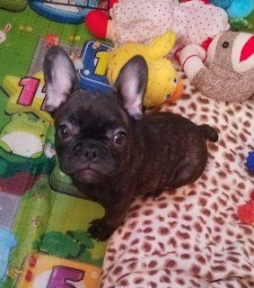 French Bulldog PUPPY FOR SALE ADN-120529 - French Bulldog Puppies