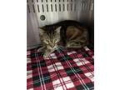 Adopt Bon Jovi a Domestic Short Hair
