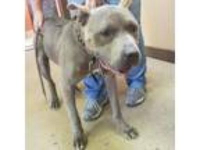 Adopt Blue a Pit Bull Terrier