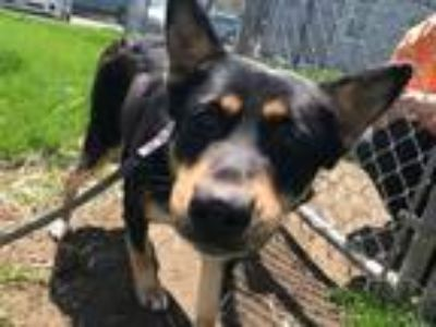 Adopt Sheryl a Cattle Dog, Shepherd