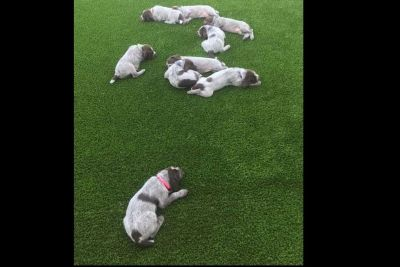 AKC/NAVHDA Registered Wirehaired Pointing Griffon Puppies