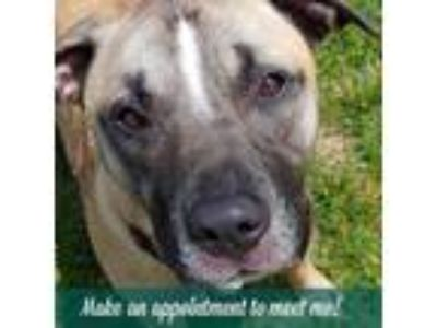 Adopt Paris a Tan/Yellow/Fawn Mastiff / American Pit Bull Terrier / Mixed dog in