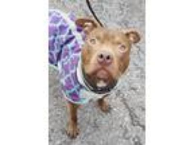 Adopt Tastykake a Red/Golden/Orange/Chestnut - with White Pit Bull Terrier /
