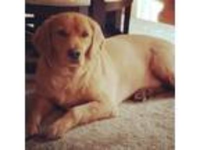 Adopt Leo a Tan/Yellow/Fawn Goldendoodle dog in Laurel, MD (25506041)
