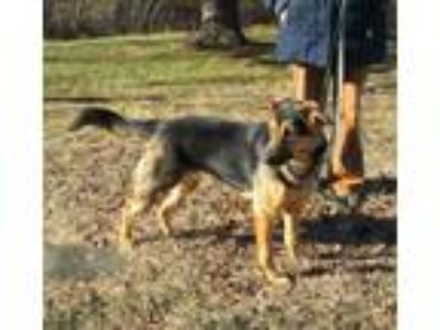 Adopt Queenie a German Shepherd Dog
